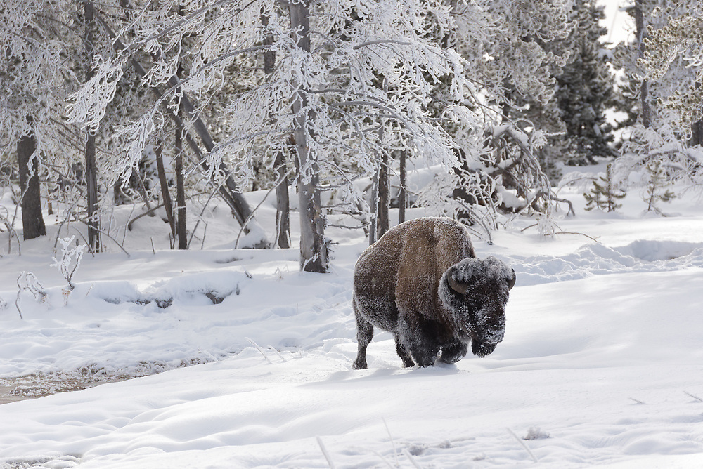 A frost covered bison in the winter, Yellowstone