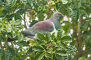 The New Zealand Wood Pigeon (kereru) is the only surviving bird large enough to eat the fruit of trees such as karaka and taraire.  The NZ pigeon is an essential part of seed distribution in a mature New Zealand forest.<br />