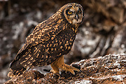 Short-eared owl (Asio flammeus galapagoensis) with strom petrel prey.<br /> Tower Island (Genovesa Island)<br /> Galapagos Islands<br /> ECUADOR.  South America<br /> ENDEMIC TO GALAPAGOS<br /> One of three raptors found in the islands. This owl is diurnal and most commonly seen hunting in the Storm petrel colony on Tower Island. It hunts on foot, waiting at the entrance to the storm petrels burrows. When it hears a bird inside it lunges its legs and claws inside the burrow to catch its prey. It is a large owl of up to 43 cm in length and nests in thick bushes on the ground. It is found where there are no Galapagos hawks so has no competition for food.