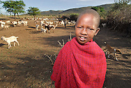 The animals like the goat and the cow are the most important possesions for the tribe. Animals are clean throughly and even brought inside the village at night. Masai Mara tribe around the Masai Mara National Park. Kenya. East Africa.