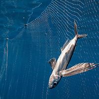 A flying fish caught in a driftnet in the open ocean.