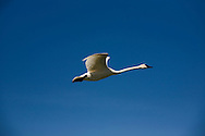 © 2008 Randy Vanderveen, all rights reserved.Grande Prairie, Alberta.An adult trumpeter swan wings its way through the clear blue South Peace skies.