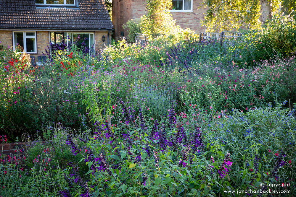 General view of salvias in Robin Middleton's garden