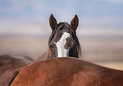 Wild Mare, Onaqui Herd, Great Basin