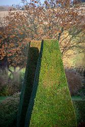 Late autumn sun on yew pillars at Pettifers. Taxus baccata