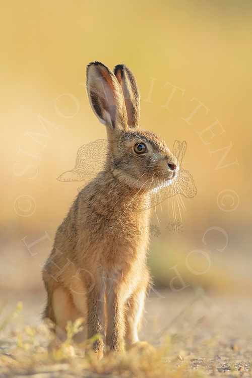European Hare (Lepus europaeus) leveret on farm track, South Norfolk, UK. July.