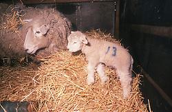 Sheep with newborn baby lamb,