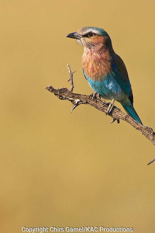 Lilac-breasted Roller (Coracias caudata) perched on a branch, Serengeti National Park, Tanzania, Africa