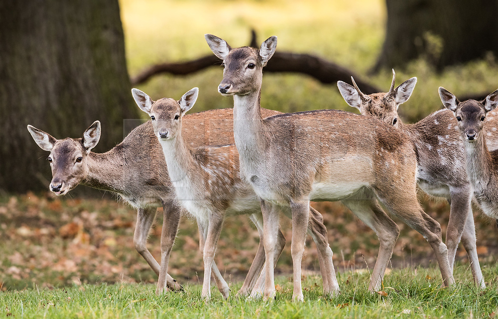 © Licensed to London News Pictures. 17/10/2017. London, UK. Young deer at first light in Bushy Park.  Storm Ophelia is expected to hit parts of Scotland later today. Photo credit: Peter Macdiarmid/LNP