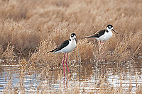 A pair of Black Necked Stilts feeds along the shore of a local marsh pond.