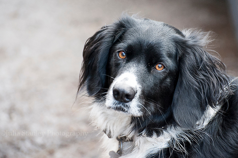 Border Collie looking up to viewer