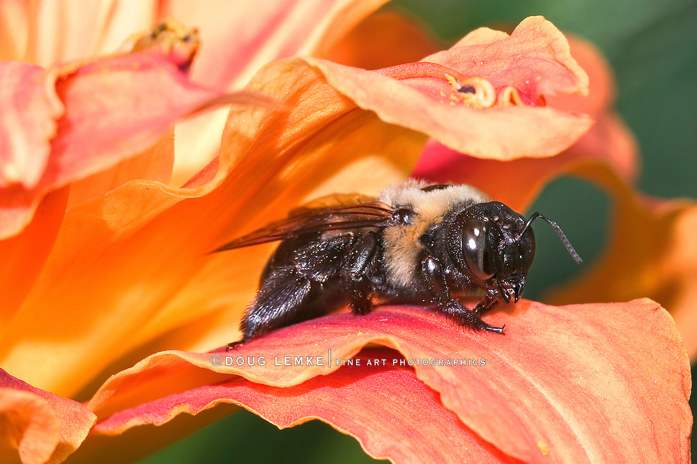 Carpenter Bee Resting On An Orange Day Lily Pedal, Xylocopa micans