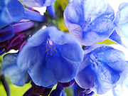 A macro photograph of a group of blossoming Virginia Bluebells in  Central Park, New York City.