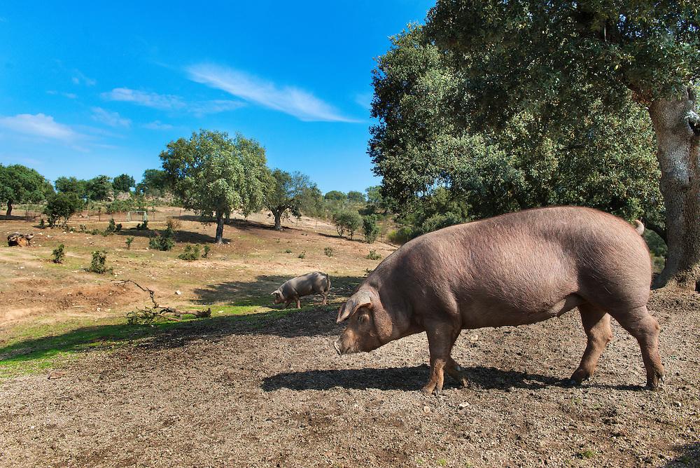 Cerdo Ib&eacute;rico puro.<br /> Hacienda Zorita.<br /> Salamanca.