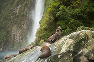 Sea lions posing in front of a waterfall, Milford Sound, South Island, New Zealand