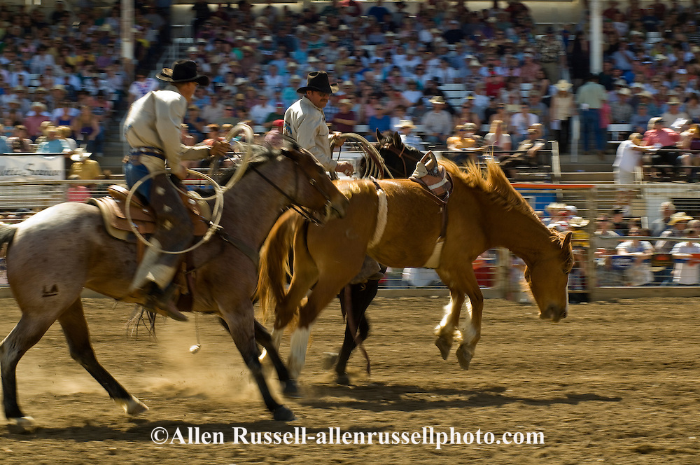 Pickup men Jay and Kyle Shaw, father and son, pick up bareback bronc rider, Miles City Bucking Horse Sale, Montana, <br /> MODEL RELEASED