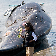 Remi Vincentini, 6, gives flowers to a dead gray whale (Eschrichtius robustus) that washed up on Arroyo Beach in West Seattle, Washington.  It is unkown why the immature whale died, but this is the fourth gray whale to wash up on Puget Sound beaches in recent weeks; Wednesday, April 15, 2010. (Photo/William Byrne Drumm)