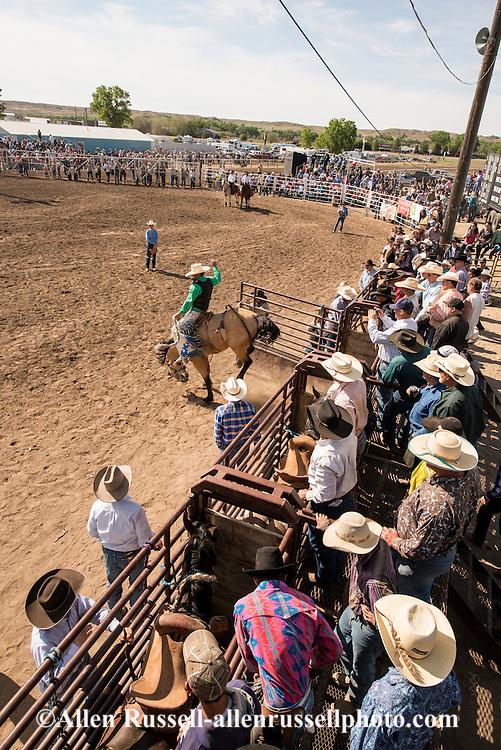 Saddle bronc rider, Miles City Bucking Horse Sale, Montana