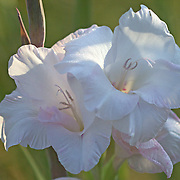 Gladiolus belongs to the Iridaceae family, and is a genus of perennial bulbous flowering plants.