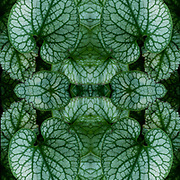 Computer abstract of altered and enhancement of Coleus Plant Foliage as digital computer art.<br /> <br /> Two or more layers were used to enhance, alter, manipulate the image, creating an abstract surrealistic mirrored symmetry.