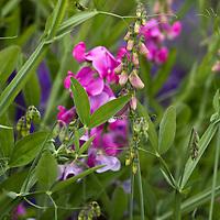 Perfume for pollinators: Lathyrus latifolia: Sweet pea/