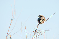A Loggerhead Shrike sits perched in a tree fluffed up warming in the morning sun it was a long cold night!