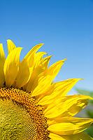 Sunflowers. Eastern Washington.