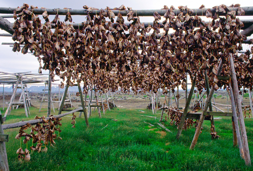 Air drying of fish heads for food, Iceland