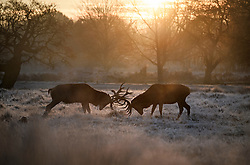 © Licensed to London News Pictures. 02/12/2019. London, UK. Deer rutting in a frost covered landscape at sunrise in Richmond Park in west London on a bright and freezing Winter morning. Photo credit: Ben Cawthra/LNP