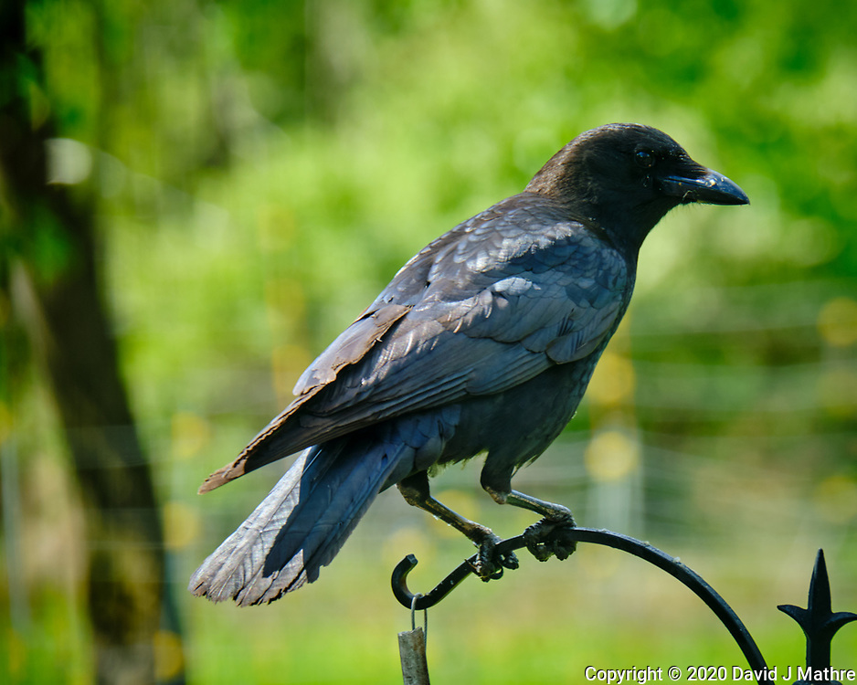 American Crow. Image taken with a Fuji X-T2 camera and 100-400 mm OIS lens (ISO 200, 400 mm, f/11, 1/30 sec).