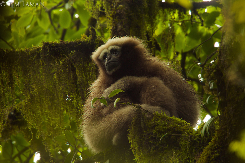 Eastern Hoolock Gibbon (Hoolock leuconedys) adult female