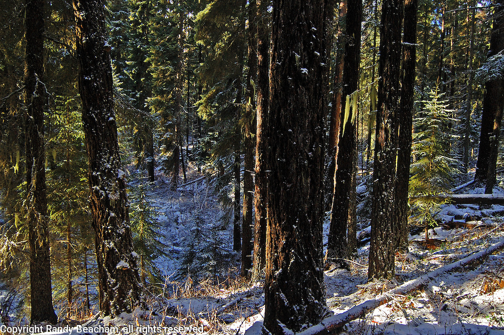Sunlight in an old-growth riparian forest. Yaak Valley Montana