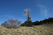 A dead araucaria (monkey puzzle) tree sits on the saddle between two hills at Quinchol, in the Huerquehue National Park in Chile's Lake District