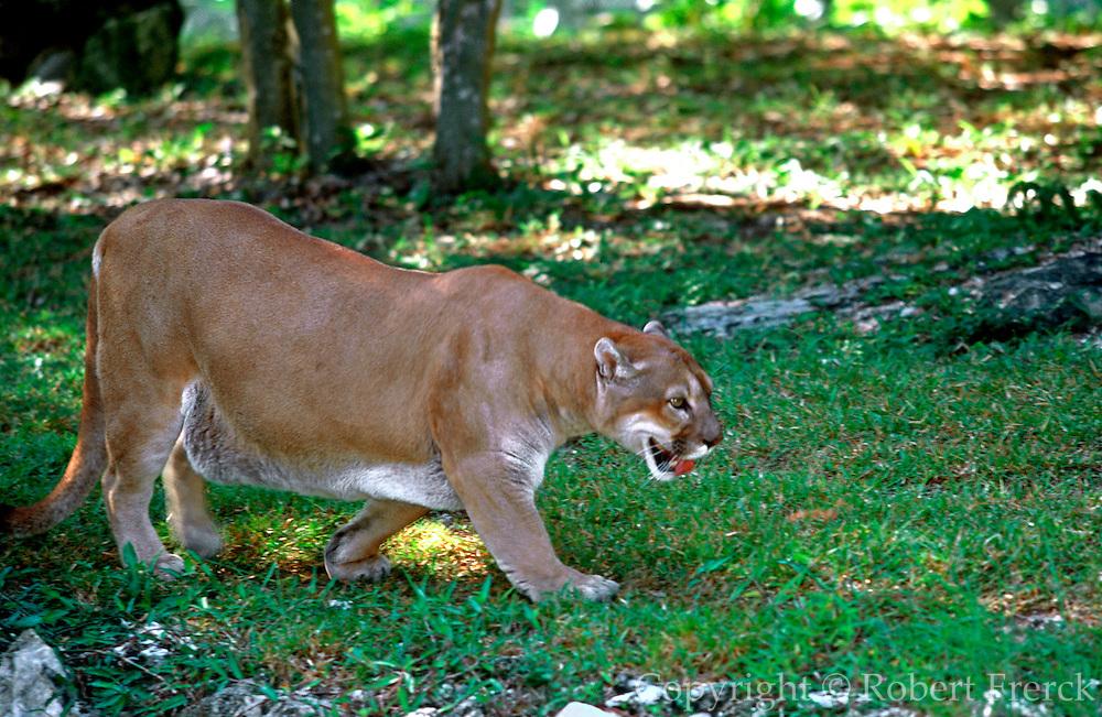 MEXICO, YUCATAN, TOURISM RIVIERA MAYA; puma in Xcaret park