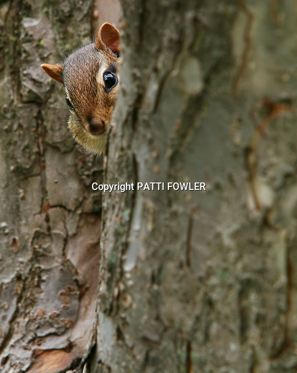 chipmunk peeking around tree trunk
