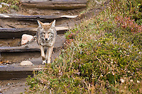 Coyote (Canis latrans) walks on the trail , Mount Rainier National Park, Washington, USA
