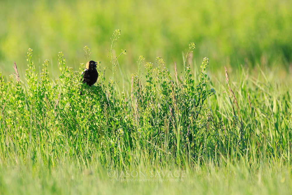 Bobolink on the Rocky Mountain Front, Montana.