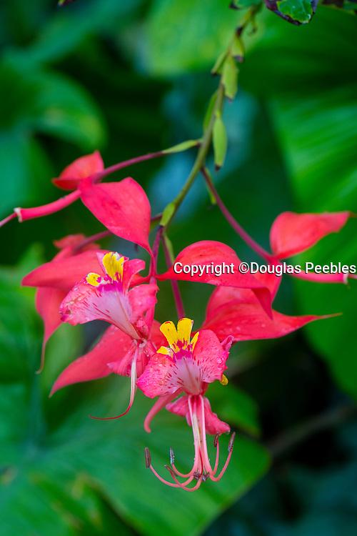 Amherstia nobilis, Pride of Burma, Lyon Arboretum. Manoa Valley, Honolulu, Oahu, Hawaii