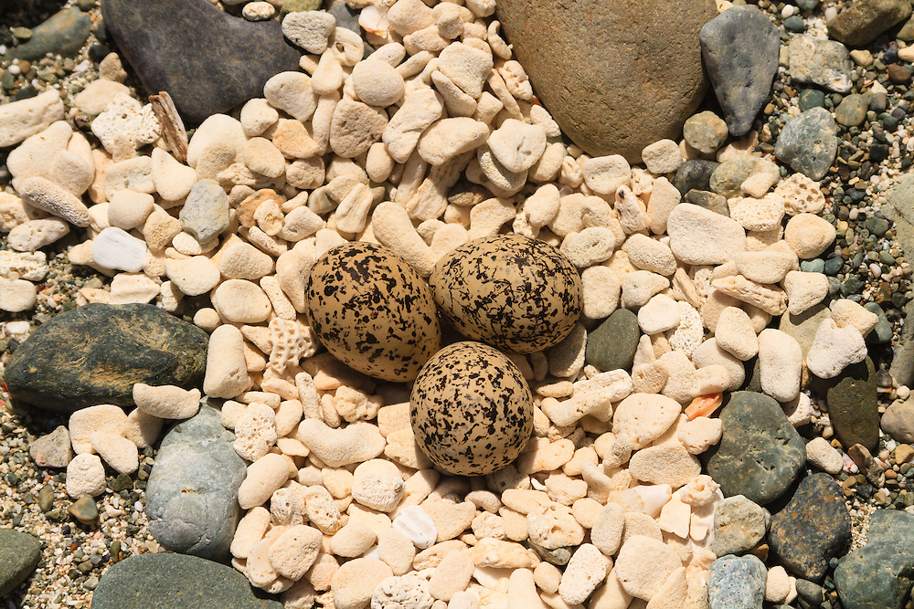 Three eggs in a gravelly nest is typical of the Killdeer (Charadrius vociferous) a member of the Plovers. This shorebird can be highly migratory or if it finds the right locale it may live there year round. This nest was stumbled upon at the beach of Great Lameshur Bay in Virgin Islands National Park, St. John.