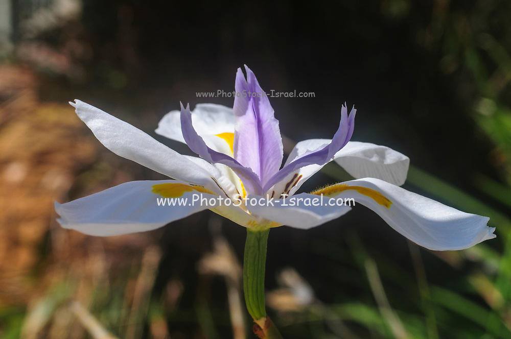 Dietes grandiflora (common names are large wild iris, fairy iris) native South Africa common in gardens around the world. Photographed in Israel in February