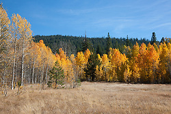 """""""Aspens at Klondike Meadow 2"""" - These yellow aspen trees were photographed in the fall at Klondike Meadow near Truckee, California."""