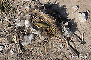 dead Laysan albatross, Phoebastria immutabilis, with gut full of man-made plastic and foam items, is probably a chick that starved after eating regurgitated plastic from its parents, blocking the digestive passage, Tern Island, French Frigate Shoals, Papahanaumokuakea National Monument, Northwest Hawaiian Islands ( Central Pacific Ocean )
