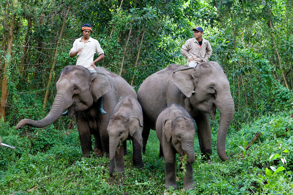 Sumatran Elephants (Elephas maximus sumatrensis) being used by Tesso Nilo National Park workers to control wild elephants that damage crops in local farms on the island of Sumatra, Indonesia, Aug. 29, 2008..Daniel Beltra/Greenpeace
