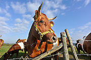 Nederland, Driel, 8-9-2012Een kudde Lakenvelders in de wei in de uiterwaarden van de rivier de Rijn. Er zijn ook kalveren, kalfjes, in de groep.Foto: Flip Franssen/Hollandse Hoogte