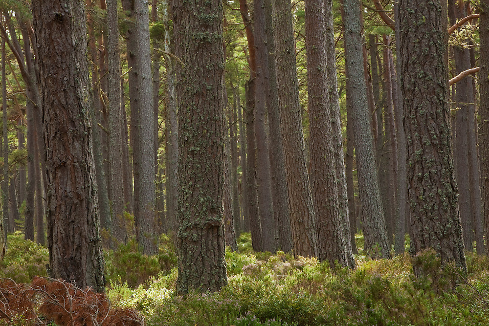 Caledonian Pine Forest at Abernethy Forest National Nature Reserve, Loch Garten, Cairngorms National Park, Scotland, Uk