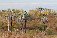 PARQUE NACIONAL EL PALMAR, PALMERAS YATAY (Syagrus yatay) Y ESPECIES NO AUTOCTONAS (PARAISO, Melia azedarach Y CRATAGEO, Pyracantha atalantoides), PROV. DE ENTRE RIOS, ARGENTINA