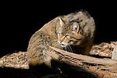 Wilde kat (C)