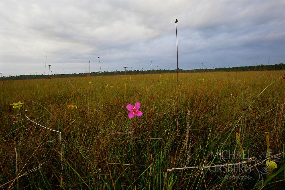Mississippi Sandhill National Wildlife Refuge, Mississippi.  Wildflowers in wet pine savannah.