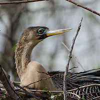 An Anhinga sits on his nest at Shark Valley, Everglades National Park.