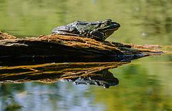 groene kikker, green frog, edible frog